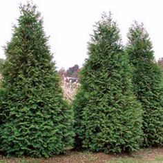 A whole 200 ft  row of these are just waiting to be planted along my fence, shipment comes in April :-)  Natural privacy fence - Thuja Green Giant Arborvitea