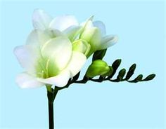 White freesia Love Flowers, White Flowers, Great Pic, Green Wedding, Winter White, Bouquets, Florals, Plants, Gardens