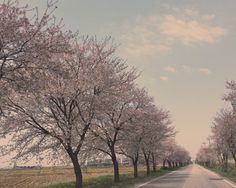 Cherry blossoms road in Asan
