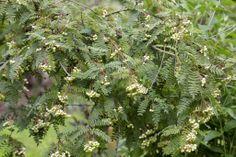 Mountain Ash • Sorbus • Sorbus • Rowan • Plants & Flowers • 99Roots.com