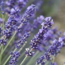 Lavender Seeds | Classic Lavender | Classic Lovely Fragrance | Lavender Seed | P...#classic #fragrance #lavender #lovely #seed #seeds Planting Lavender Seeds, Planting Seeds, Perennial Ground Cover, Ground Cover Plants, Herb Seeds, Flowers Perennials, Types Of Soil, Flower Seeds, Purple Flowers