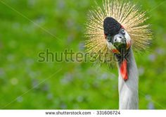 A funny crowned crane in the zoo looking crazy at visitors/Funny look/Crowned crane in a zoo - stock photo