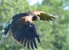 Hawk Parrot, Wildlife, Bird, Photos, Animals, Nature, Parrot Bird, Pictures, Animales