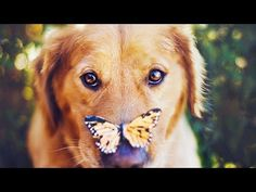 ▮Video: Funny Golden Retriever Puppies Compilation #16 – Funny Dog Vines ▮Url video: https://youtu.be/Ro8mBtvGrV4 ▮Link website : http://FunnyA2Z.com Thanks for watching and supporting our channel, wait to see more new videos everyday on AAA Dogs Funny...   https://www.cutepuppiesvideos.com/260535/funny-golden-retriever-puppies-compilation-16-funny-dog-vines/