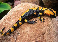 Настоящие саламандры