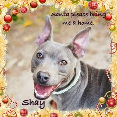 Shay is asking Santa to get her a home for Christmas. She is spayed, microchipped, heartworm neg, and up to date on shots. She also gets along well with other dogs and loves people.