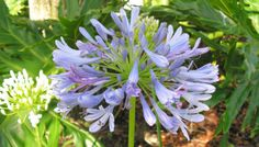 Gulf Coast Gardening: Drought-tolerant Plants//Lily of the Nile (Agapanthus orientalis). Beautiful blue or white balls of flowers sit atop the strappy green leaves of this drought-tolerant plant.