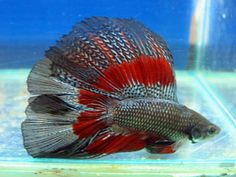 copper butterfly red base double tail betta