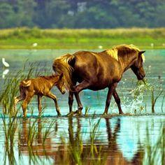 Wildlife on Assateague Island. Via T+L  (www.travelandleisure.com).