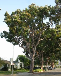 SelecTree - A tree selection guide for California Trees To Plant, Planting, The Selection, Costa, Sydney, Smooth, Apple, Red, Inspiration
