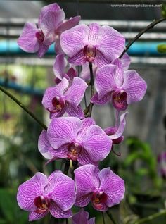 Phalaenopsis Orchids   Phalaenopsis orchids in Vietnam