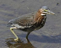 """green heron 16-22"""" (41-56 cm). A dark, crow-sized heron. Crown black, back and wings dark gray-green or gray-blue (depending on lighting); neck chestnut colored. Bill dark; legs bright orange. Immatures have streaks on neck, breast, and sides."""