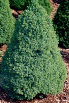 Törpe cukorsüvegfenyő  - Picea glauca 'Piccolo'   Alacsony, idős korára szabályos kúp formájú törpefenyő. Sötétzöld lombja sűrű, zárt. Lombja sűrűbb, zártabb és sötétebb zöld, mint az alapfajé. Tűlevelei aprók, lágyak, finom tapintásúak. Napos és félárnyékos helyet, nedves, jó vízáteresztő talajt kedvel. Semleges vagy savas talajba ültessük. Sziklakertben és dézsában is kiválóan mutat.  2 literes konténerben   1.850 Ft