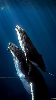 Humbpack whales - Réunion Island (Indian Ocean) | by Seb on 500px