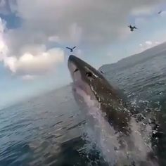Big shark jumped out of the ocean - GIF Big Shark, Cute Shark, Shark Gif, Funny Animal Videos, Funny Animals, Cute Animals, Photos Sous-marines, Shark Photos, Shark Pictures