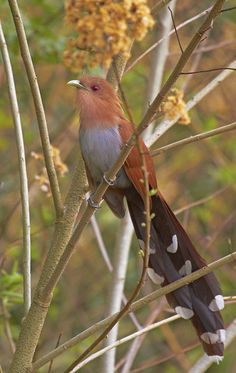 Alma-de-gato (Squirrel Cuckoo), Brasil, by Bertrando©, via Flickr