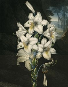 The White Lily with Variegated Leaves. By Dr. Robert John Thornton. Aquatint, stipple and line engraving, 1800. From THE TEMPLE OF FLORA OR THE GARDEN OF NATURE.