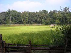 Paddy fields of Dandeli, India Annie Koshy Photography