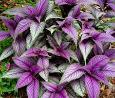 Persian Shield Live Plant - Strobilanthes - Inside/Out - Pot Best GIft New. Persian Shield is among the most sought after foliage prizes among plants lovers worldwide. You can use Persian Shield in pots indoors as well. Spring Garden, Winter Garden, Lawn And Garden, Garden Tips, Purple Plants, Tropical Plants, Purple Heart Plant, Tropical Gardens, Tropical Forest