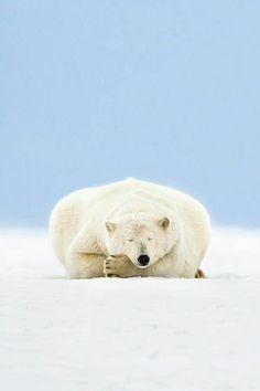 #bear #polarbear