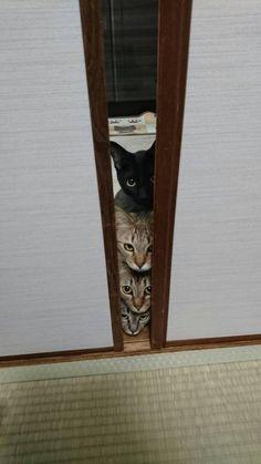 iPetGroup愛寵物 - 怕到死也要看!喵星人被吸塵器嚇到躲門後,從門縫偷看變成「疊疊樂」