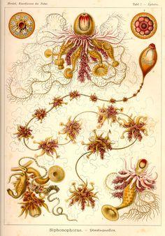 Epibulia ritteriana; Cystalia monogastrica; Salacia polygastrica