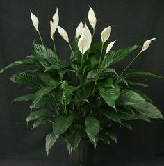 Eine Zimmerpflanze mit edlem Look ist das Einblatt
