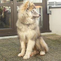 Canadian Eskimo Dog 06