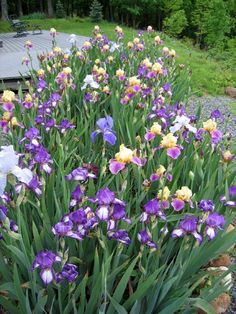 Would love yellows and purples/blues for my iris garden. Iris Garden, Blue Garden, Lawn And Garden, Annual Flowers, Iris Flowers, Spring Flowers, Water Wise Landscaping, Tropical Landscaping, Garden Bulbs