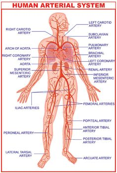 6 virtual tours of the human body for free interactive anatomy venous system diagram human arterial system diagram ccuart Choice Image