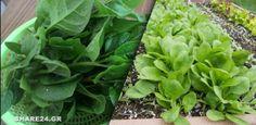 Πως να Καλλιεργήσω Σπανάκι στον Κήπο Εύκολα & Απλά Lettuce, Vegetables, Nature, Flowers, Plants, Gardens, Couples, Tips, Decor