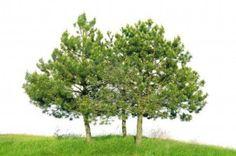 Grove den Pinus sylvestris