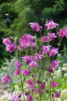 Kerti Harangláb (Aquilegia vulgaris) gondozása, szaporítása (Közönséges Harangláb, Sasfű)