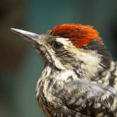 Little Bird Woodpecker stock photo. Image of nature, small - 51768350 Photos For Sale, Stock Photos, Back To Black, Black And White, En Stock, Little Birds, Nature Images, Fauna, Wildlife