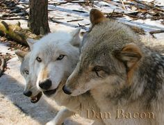 Wolves at Lakota. From the Photography collection of Dan Bacon Founder of Lakota Wolf Preserve. Dan's prints are available at Made To Order 44 Main Street, Clinton, NJ