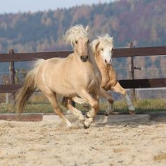 Welsh ponies are agile, hardy, and strong.