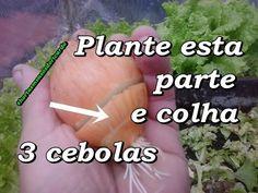 Plante 1/3 de uma cebola e colha 3 cebolas, Compartilhe Jardinagem - YouTube