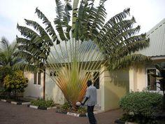 strange palm trees - Bing Images Travellers Palm, Cactus, Unusual Plants, Palm Trees, Bing Images, Plant Leaves, Uganda, Shapes, Life
