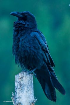 Crows and Raven Facts Wild Aware Utah - DIY and crafts Raven Facts, Kids Camping Bed, Crow Spirit Animal, Animal Dictionary, Raven Pictures, Spirit Magic, Quoth The Raven, Crow Bird, Crows Ravens