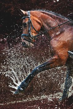 Horse kicking and playing in water. Awesome horse photography.  Beautiful Bay with dark markings and tight braided mane.
