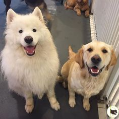 Smore, the Samoyed and Honey, the Golden, smile for the camera at Doggieland Vaughan. #samoyed #goldenretriever #doggiedaycare #vaughan #playtime #dog #smileforthecamera