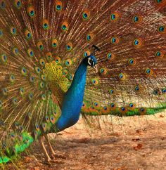 Beautiful Peacock Display by Jay D.