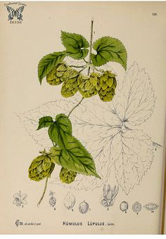 Hops vine. Humulus lupulus. The fragrant flowers of this vine, provide bitterness, flavor, and preservative properties. | by Swallowtail Garden Seeds