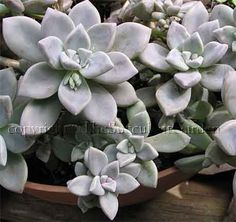 Sedeveria 'Silver Star'