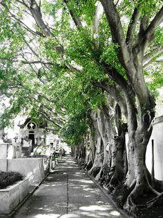 Árvores frondosas no corredor do cemitério by Gui Scheinpflug, via Flickr