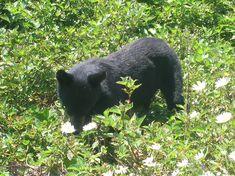 Le Canada : L'ours noir de Gaspésie Jolie Photo, Canada, Black Bear, American Black Bear, Animaux