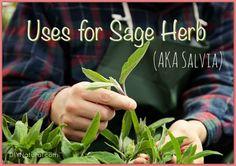 Sage Herb Salvia Plant