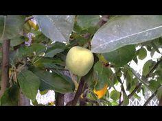 Arboles frutales: El manzano, de la flor al fruto - YouTube