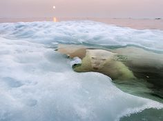 """A polar bear peers up from beneath the melting sea ice on Hudson Bay as the setting midnight sun glows red from the smoke of distant fires during a record-breaking spell of hot weather,"" writes Paul Souders, who submitted this winning picture to the 2013 National Geographic Photo Contest. ""The Manitoba population of polar bears, the southernmost in the world, is particularly threatened by a warming climate and reduced sea ice."""