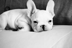 i just want a frenchie